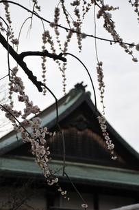 桜と社殿の写真素材 [FYI00461723]