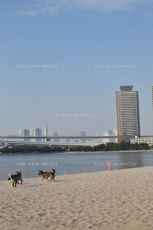 お台場の砂浜で戯れる2頭の犬の写真素材 [FYI00461751]