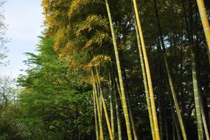 竹藪の写真素材 [FYI00461779]