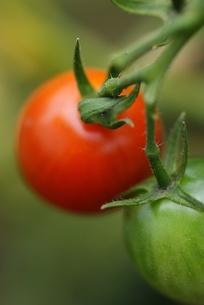 ミニトマト_赤と緑の素材 [FYI00461902]