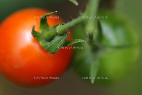赤いトマトと緑のトマトの素材 [FYI00461907]