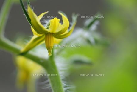 ミニトマトの黄色い花の素材 [FYI00461916]