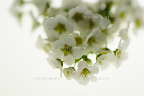 白いユキヤナギのブーケの素材 [FYI00461935]
