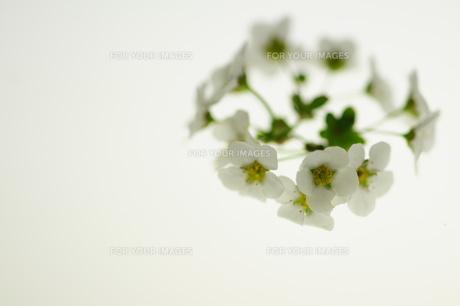 白いユキヤナギの写真素材 [FYI00461939]