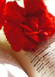 赤いカーネーション_thank_you_母の日の写真素材 [FYI00461940]