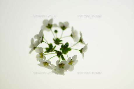 白いユキヤナギの写真素材 [FYI00461941]