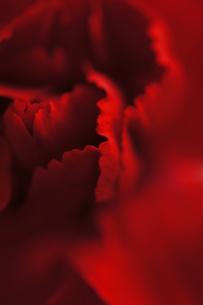 赤いカーネーションの写真素材 [FYI00461951]