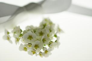 白い雪柳とリボンの写真素材 [FYI00461956]