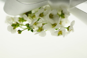 白いユキヤナギとリボンの写真素材 [FYI00461957]