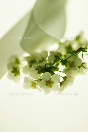 白い雪柳の素材 [FYI00461958]
