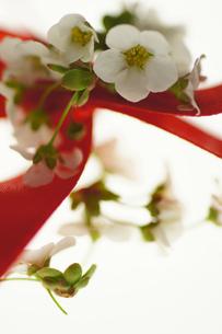 白いユキヤナギと赤いリボンの写真素材 [FYI00461959]