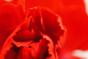 赤いカーネーションの写真素材 [FYI00461969]
