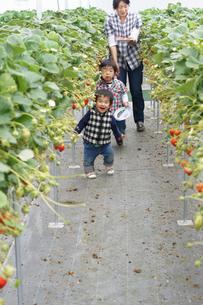 苺狩りをする母子の写真素材 [FYI00461982]