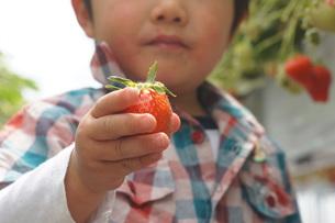 苺狩りを楽しむ幼児の写真素材 [FYI00461984]