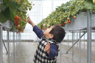 苺狩りをする1歳児の写真素材 [FYI00461985]