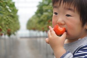 ハウス栽培の苺狩りを楽しむ幼児の写真素材 [FYI00461986]