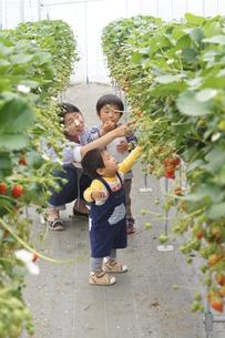苺狩りの家族の写真素材 [FYI00461990]