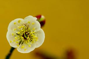 正月素材_ 梅の花の写真素材 [FYI00462129]
