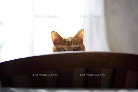のぞき見猫の写真素材 [FYI00462144]
