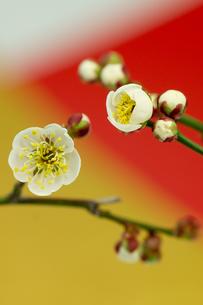 正月素材_ 梅の花の写真素材 [FYI00462165]
