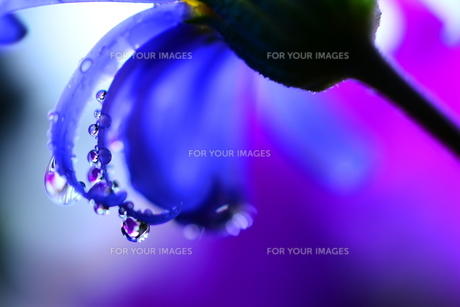 紫の素材 [FYI00462395]