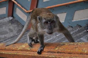 凝視する猿の写真素材 [FYI00462423]