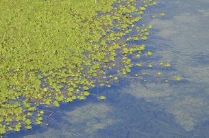 水藻の写真素材 [FYI00462774]