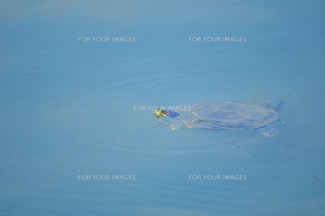 遊泳の写真素材 [FYI00463362]