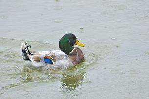 水浴びの写真素材 [FYI00463544]