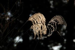 木漏れ日の中のススキの写真素材 [FYI00463954]