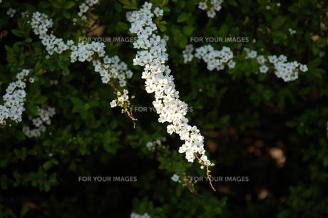 散歩道脇の春の写真素材 [FYI00463968]