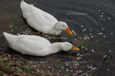 春の湖面のアヒルの兄弟の写真素材 [FYI00463991]