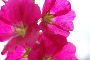 凛と咲く葵の写真素材 [FYI00463999]