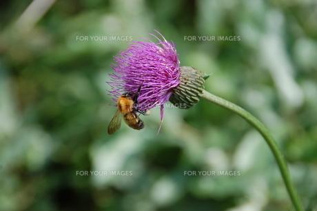 莇の蜜を吸うトラマルハナバチの写真素材 [FYI00464009]