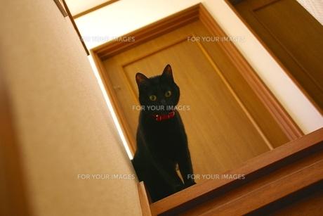 黒猫の写真素材 [FYI00464079]