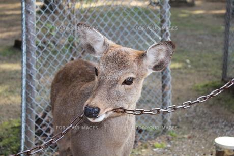 奈良の鹿の素材 [FYI00464080]