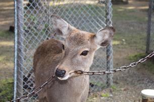 奈良の鹿の写真素材 [FYI00464080]