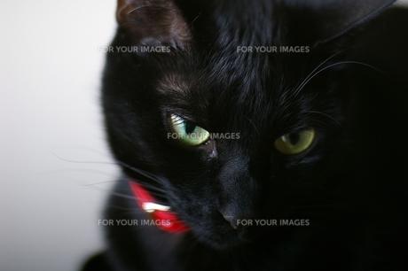黒猫の写真素材 [FYI00464096]