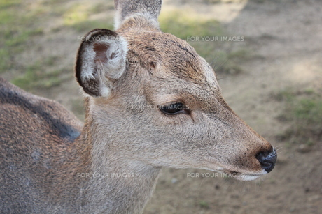 奈良の鹿の横顔の素材 [FYI00464102]