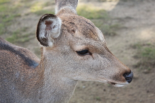 奈良の鹿の横顔の写真素材 [FYI00464102]