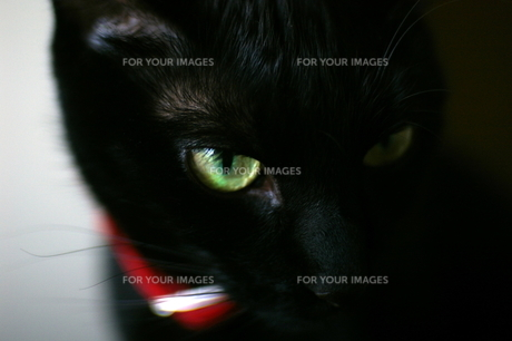 黒猫の写真素材 [FYI00464110]