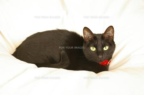 黒猫の写真素材 [FYI00464177]
