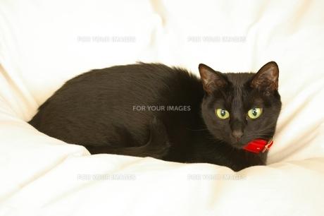 黒猫の写真素材 [FYI00464203]