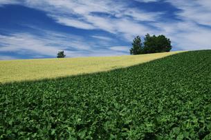 ビート畑と麦畑の素材 [FYI00464313]
