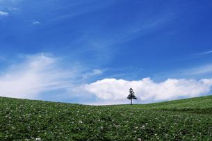 美瑛の丘の一本の木の素材 [FYI00464316]