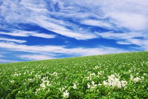 じゃがいも畑と青空の写真素材 [FYI00464318]