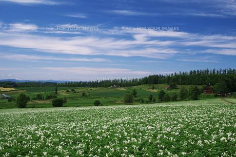 ジャガイモ畑と美瑛の丘の素材 [FYI00464321]