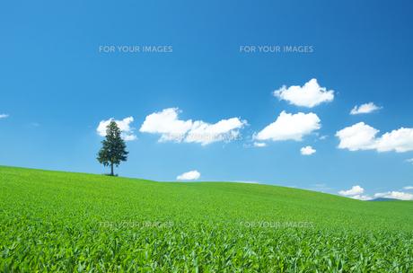 畑の中の一本の木と青空の白い雲の素材 [FYI00464344]