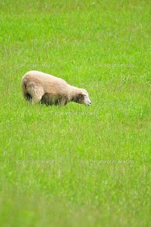 羊の写真素材 [FYI00464399]