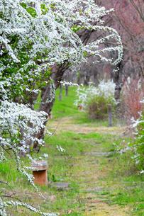 雪柳の咲く小道の写真素材 [FYI00464401]
